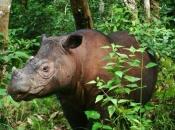 Rinoceronte-de-sumatra 2