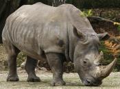 Rinoceronte-de-sumatra 3