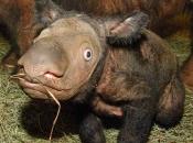 Rinoceronte-de-sumatra 4