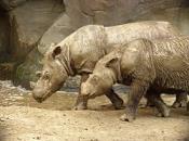 Rinoceronte-de-sumatra 7