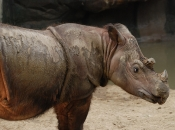 Rinoceronte-de-sumatra 8