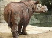 Rinoceronte-de-sumatra 9