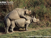 ARKive image GES001599 - Indian rhinoceros
