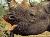 ARKive image GES004650 - Black rhinoceros