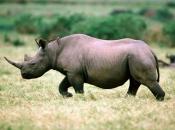 fotos-de-rinoceronte-4