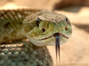 serpentes-8