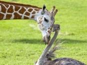 Socialização da Girafa 1