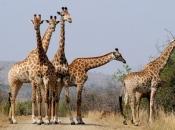Socialização da Girafa 4