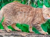 Gatos Selvagens 1