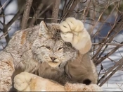 Gatos Selvagens 2