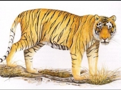 Tigre-de-bali-6