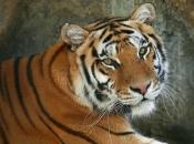 tigre-de-bengala-2