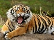 tigre-de-bengala-3