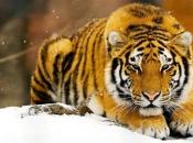tigre-de-bengala-4