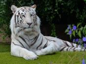 tigre-de-bengala-6