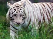 tigre-de-bengala-7