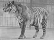 Tigre-de-java-2