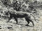 Tigre-de-java-3
