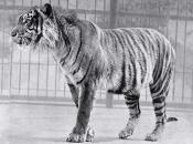 Tigre-de-java-4