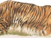 tigre-do-caspio-6