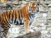 Tigre-do-sul-da-china-4
