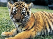 Tigre-do-sul-da-china-5