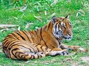 Tigre-do-sul-da-china-6
