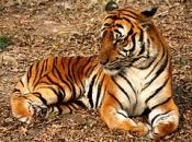 Tigre-do-sul-da-china-7
