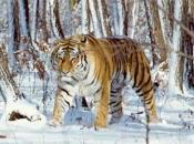 tigre-siberiano-3