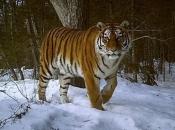 tigre-siberiano-4
