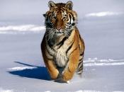 tigre-siberiano-5