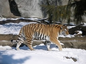 tigre-siberiano-7