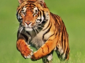tigres-selvagens-10