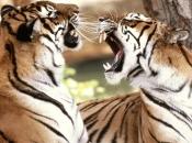 tigres-selvagens-11