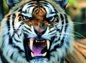 tigres-selvagens-13