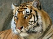 tigres-selvagens-3