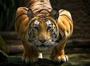 tigres-selvagens-4