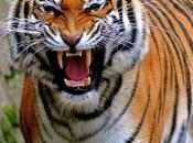 tigres-selvagens-5