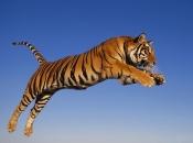 tigres-selvagens-6