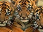 tigres-selvagens-7