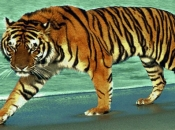 tigres-selvagens-8