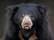 Urso-Beiçudo 1
