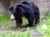 Urso-Beiçudo3