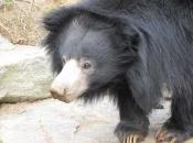 Urso-Beiçudo 3