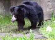 Urso-Beiçudo 4