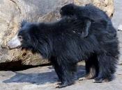 Urso-Beiçudo 5