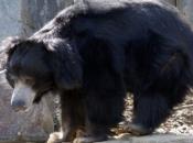 Urso-Beiçudo 6