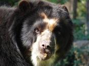 Urso-De-Óculos2