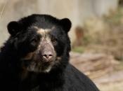 Urso-De-Óculos3