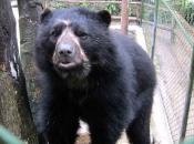 Urso-De-Óculos5